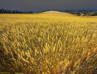 小麦不执行托市收购价调查分析